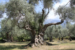 Old olive tree Royalty Free Stock Image