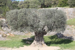 Old olive tree Royalty Free Stock Images
