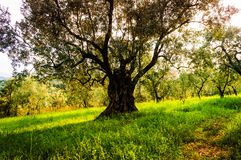 Old Olive Tree In The Woods Stock Image