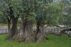 The old olive tree. The 2000 old year olive tree in the park Stara Maslina near the Bar city at Montenegro Stock Photo