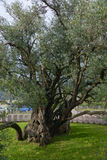 The old olive tree. The 2000 old year olive tree in the park Stara Maslina near the Bar city at Montenegro Stock Image