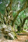 Old Olive Trees. Big and Ancient Olive Trees in Corfu stock photos