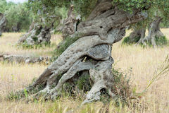 Old Olive Trees Stock Photography