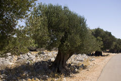 Old olive trees. Near village Lun on Pag island, Croatia Stock Images