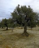 Old olive trees in arid lands Stock Image