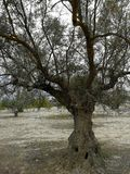 Old olive trees in arid lands Stock Images