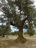 Old olive trees in arid lands Royalty Free Stock Images