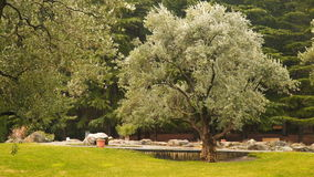 Old olive trees on the background of a spruce forest. Partenit Crimea stock video footage