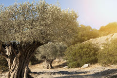 Old olive trees Royalty Free Stock Images