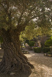 Old olive trees in the Garden of the Church of our Lady Stock Photography