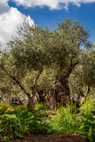 Old olive trees in the garden of Gethsemane Royalty Free Stock Image