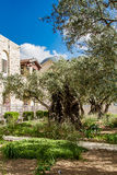 Old olive trees in the garden of Gethsemane Stock Photos