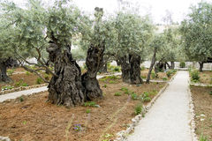 Old Olive trees, Gethsemane, Jerusalem, Israel Royalty Free Stock Images