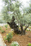 Old Olive trees, Gethsemane, Jerusalem, Israel Stock Photo