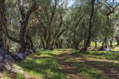 Old olive trees in Greece Stock Photo