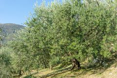 Old olive trees in Italy. Grove with old olive trees in Italy royalty free stock images