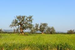 Old olive trees near Cisternino (Italy) Stock Images