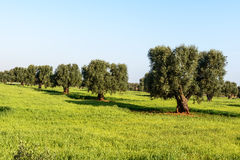 Old olive trees near Cisternino (Italy) Royalty Free Stock Photo