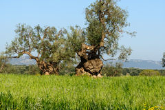 Old olive trees near Cisternino (Italy) Stock Photo