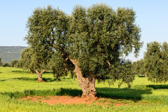 Old olive trees near Torre Canne (Italy) Royalty Free Stock Photo