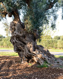 Old olive trees near Torre Canne (Italy) Stock Image