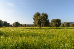 Old olive trees near Torre Canne (Italy) Stock Photography