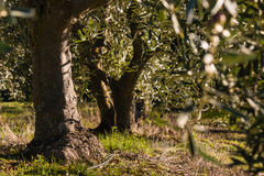 Old olive trees in olive grove Royalty Free Stock Images