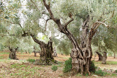 Old olive trees. Picturesque landscape with old olive trees in Mallorca Stock Photo