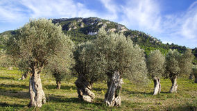 Old olive trees. Picturesque landscape with old olive trees in Mallorca Royalty Free Stock Images