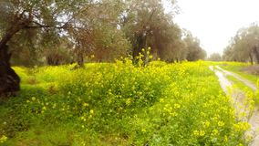 Old olive trees in the pouring rain are buried in a field of rape flowers, a panorama of a dirt road, a deep winter in Cyprus. Ancient Olive Trees, a collection stock footage