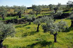 Old olive trees on the slope of hill, Andalusia, Spain Royalty Free Stock Image