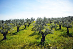 Old olive trees on the slope of hill, Andalusia, Spain Royalty Free Stock Photography