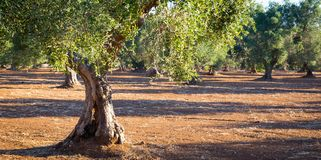 Old olive trees in South Italy Royalty Free Stock Photos
