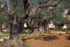 Old olives in garden of Gethsemane in Jerusalem Stock Photo