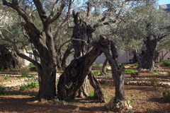 Old olives in garden of Gethsemane in Jerusalem Royalty Free Stock Photos