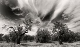 Old olivetrees. Olive trees and dramatic sky, b&w Stock Photography