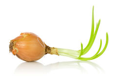 Old onion bulb with sprouts Stock Photography