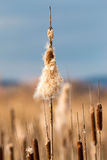 Old open bulrush (Typha latifolia) Royalty Free Stock Photography