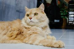 Old cat is looking something before he going to sleep in the evening. Old and orange cat is looking something before he going to sleep in the evening royalty free stock images
