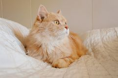 Old cat is looking something before he going to sleep in the evening. Old and orange cat is looking something before he going to sleep in the evening stock images