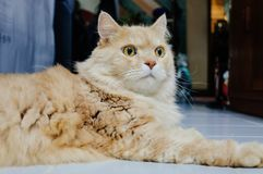 Old cat is looking something before he going to sleep in the evening. Old and orange cat is looking something before he going to sleep in the evening royalty free stock image