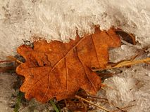 Old and orange dry oak leaf in hoarfrost. First autumn freeze. Royalty Free Stock Photo