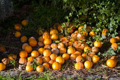Old oranges Royalty Free Stock Photo