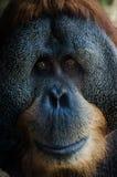 Old orangutan portrait. Sad orangutan Royalty Free Stock Images