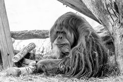 The old orangutan royalty free stock image