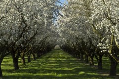 Old orchard in Bloom Stock Images