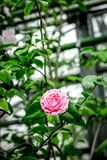 Old orchard-house indoor with exotic rose flower Royalty Free Stock Images
