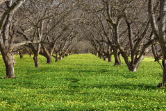 Old orchard and spring blooms. An old walnut orchard with fields of yellow flowers (oxalis Stock Photos