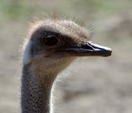 Old ostrich. Birds, ostriches, animals, feathers, eyes, beak, africa, head, wild, portrait, farm, humor, outdoors, staring, wildlife, human, close-up, close Stock Photography