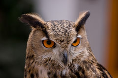 Old owl Royalty Free Stock Images